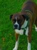 Boxer, 6, Brindal