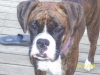 Boxer, 1, Dark Brindle
