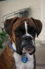 Boxer, 1 yr. 7 mos., Flashy Brindle