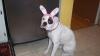 Boxer, 10 months, white