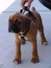 Boxer, 1yr, Brindle