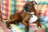 Boxer, 5 months, dark fawn