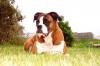 Boxer, 8, Fawn