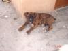 Boxer, 3 months, brindle