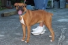 Boxer, 1 1/2, Fawn w/black mask