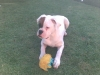 Boxer, 8 months, white