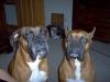 Boxer, 6 & 7, Fawn