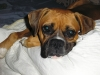 Boxer, 1 1/2 years old, fawn