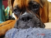 Boxer, he was 12 months, brown