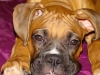 Boxer, he was 5 months, brown