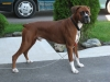 Boxer, 2, Red