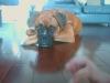 Boxer, 6 mounths, fawn