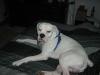 Boxer, 3, white