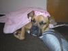 Boxer, 1 1/2, Fawn