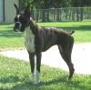 Boxer, 8 months, Brindle