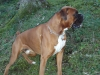 Boxer, 4, red