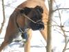 Boxer, 18 months, cinnamon