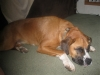Boxer, 2yrs and 3 mons, fawn