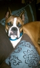 Boxer, 2, fawn/white face mask