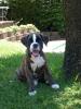 Boxer, 2 months, Brindle