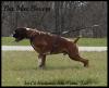 Boxer, 4, flashy fawn