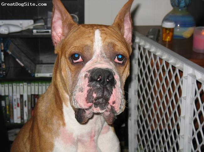 Boxer, 1 yr, fawn w/whie, He's a good boy.