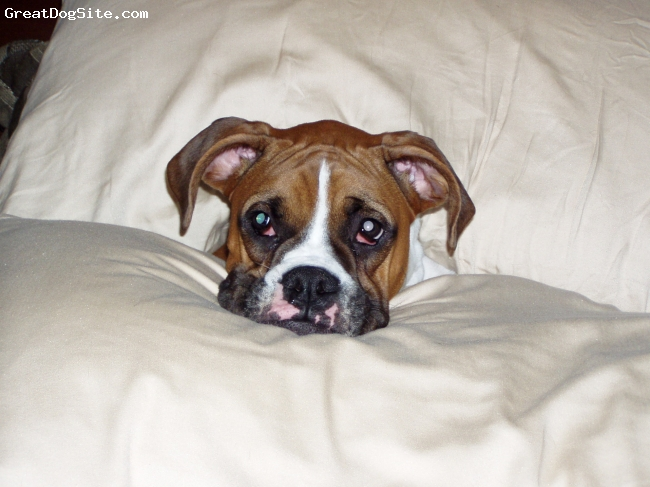 Boxer, 6 months, fawn, Luke takes a break from editing his website.