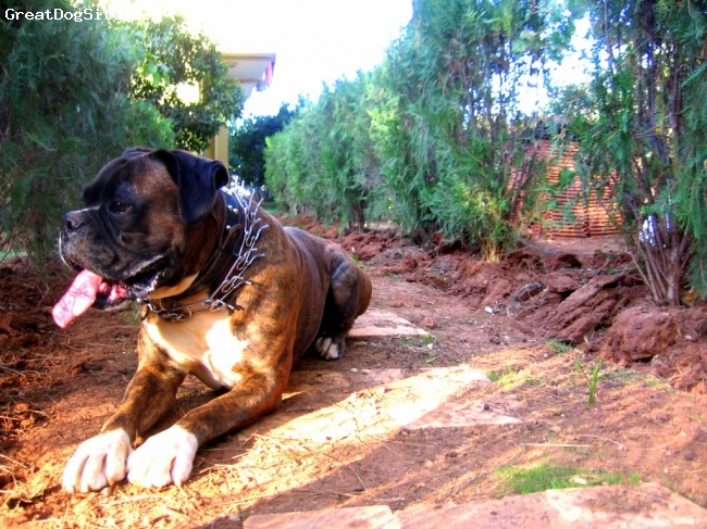 Boxer, 4,7, tiger, from turkiye