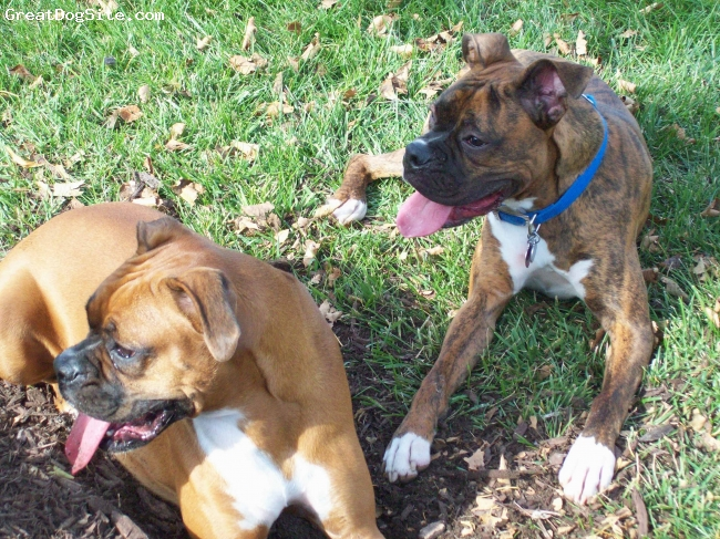 Boxer, 1, fawn, they are friends and love to play all day!!!
