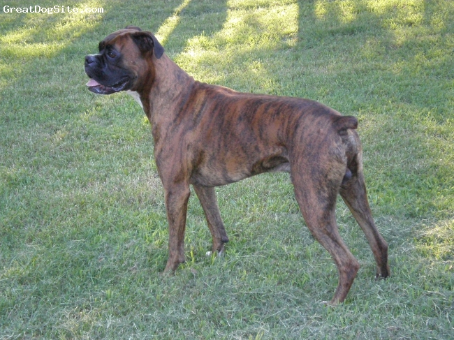 """Boxer, 3, Brindle, This is our """"big boy"""". He is the father of Apollo """"the intimidator"""". He is the most intuned dog. He is very protective and watches everything."""