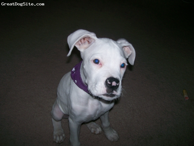 Boxer, 3 mo  13 weeks, white, All white boxer, not deaf, very tough looking even young, but a baby at heart, what a lap dog!