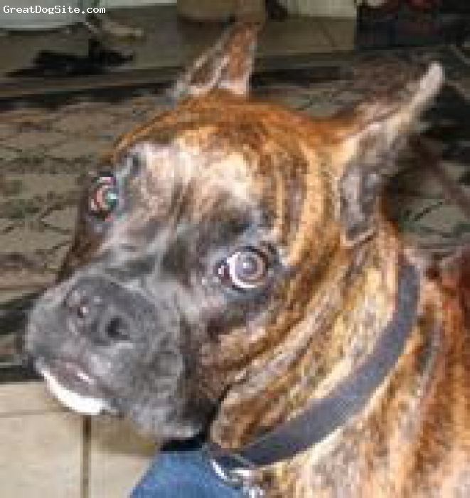 Boxer, 2-2-3 and 3 months, fawn & brindle, zues he is awesome