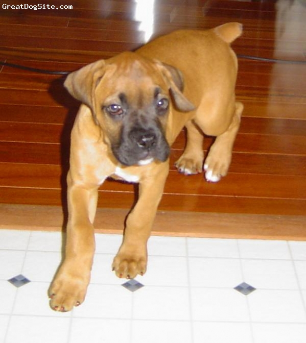 Boxer, both 2, fawn, june as puppy