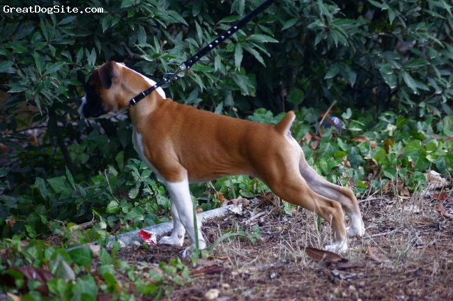 Boxer, 3 monts, fawn and white, breezer 3 monts old boxer from malta
