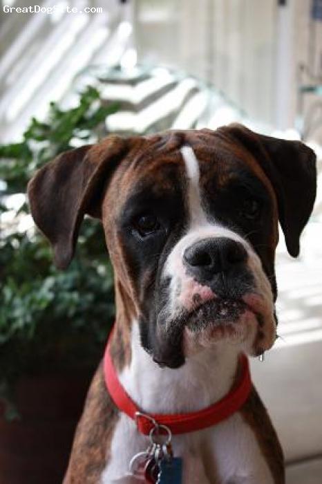 Boxer, 1 yr. 10 mos., Flashy Brindle, Our baby girl :)