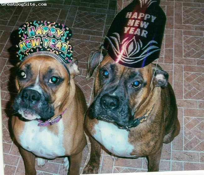 Boxer, 4 and 2, brindle and fawn, my sweeties