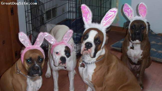 Boxer, 4,2,1,and 10 mos, brindle,fawn and white, my easter boxers