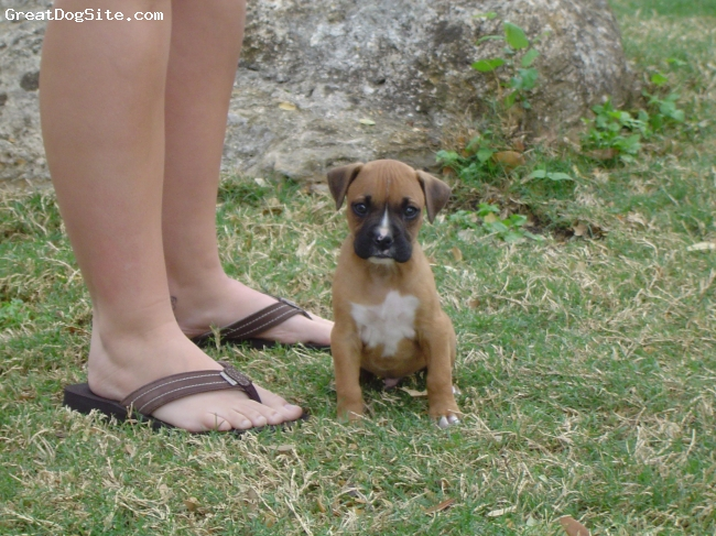 Boxer, 2 months, Fawn, Just chillin