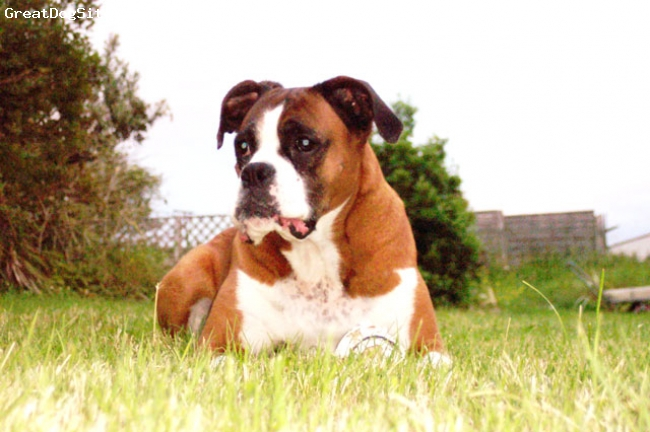Boxer, 8, Fawn, Jenny - our pet Boxer dog, pure bred, female - Sligo Ireland  Likes: Surfing, running on the beach, going in the car, drinking Dutch Gold and smoking grass with da boyz, eating food from the fridge (especially butter), farting excessively, sleeping in other peoples beds (& farting)  Dislikes: Peadar O'Toole  R.I.P Jenny xxx