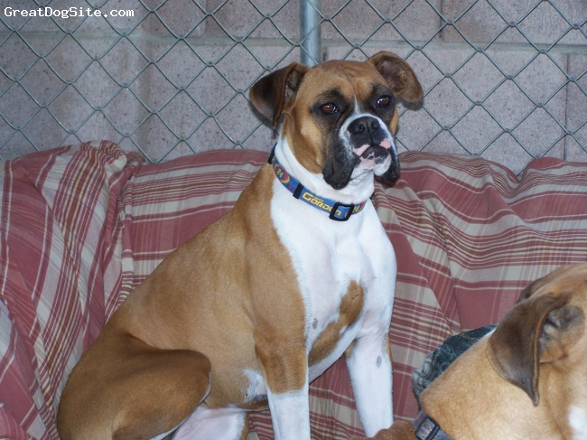 Boxer, 3, Fawn, Katy is a fun, goofy and sneaky dog. She also loves the pool and to swim.