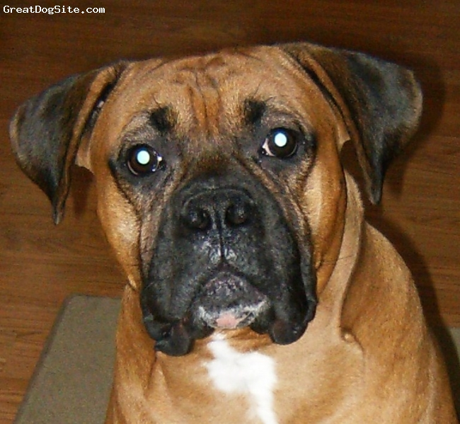 Boxer, 2 years, Fawn, The only way to describe our boxer is that he is a BIG MUSH. Loves to be a 85 pound lap dog.