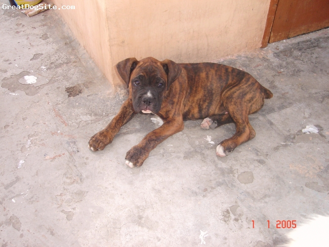 Boxer, 3 months, brindle, nothing too describe  about that dog he is toooo cooolll