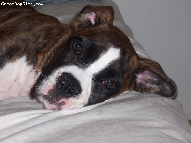 Boxer, 4 months, reverse brindle, playful and full of energy she loves going to the beach