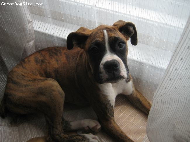 Boxer, 4 months, Brindle, white markings, My little girl just being cute!