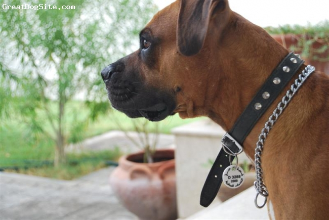 Boxer, 2, tayson, he his ready to ramble!