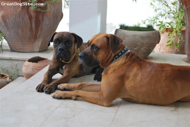 Boxer, 2, tayson and sash, Ihave adopted them from cruel dog owner they 8 to 10 kg under weight! they have gain a lot now. she is 18 and he is 20