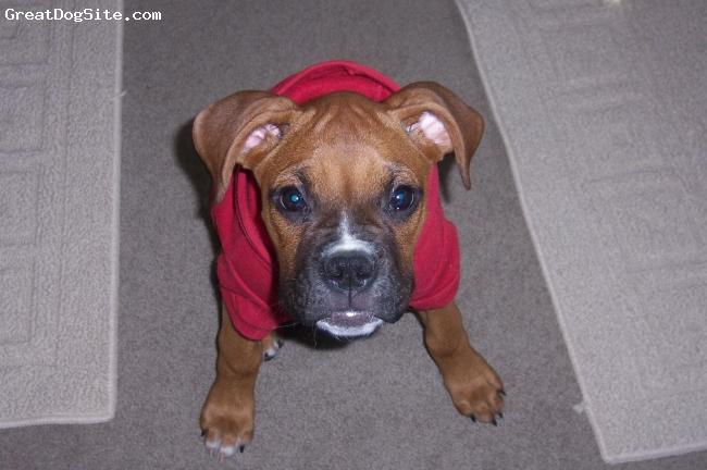 "Boxer, 6 weeks, Brown, Christmas of ""08"""