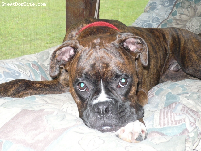 Boxer, 1 year 1 month, brindle, He is my best friend...my husband is in the Marine Corps and is currently deployed and Jax is what keeps me going...such a great companion!!! Never have another breed...until Jax we had only had small dogs..he's my little angel:)
