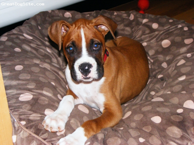 Boxer, 12 weeks, fawn, Lego is the sweetest and smartest puppy ever! He also has 2 big sisters(Boxers, of course) that he loves almost as much as he loves mommy & daddy!