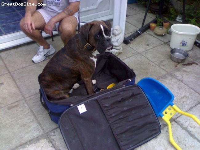 Boxer, 3, brindle, Jim not wanting anyone to go on holiday